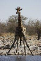 08trinkende-giraffe